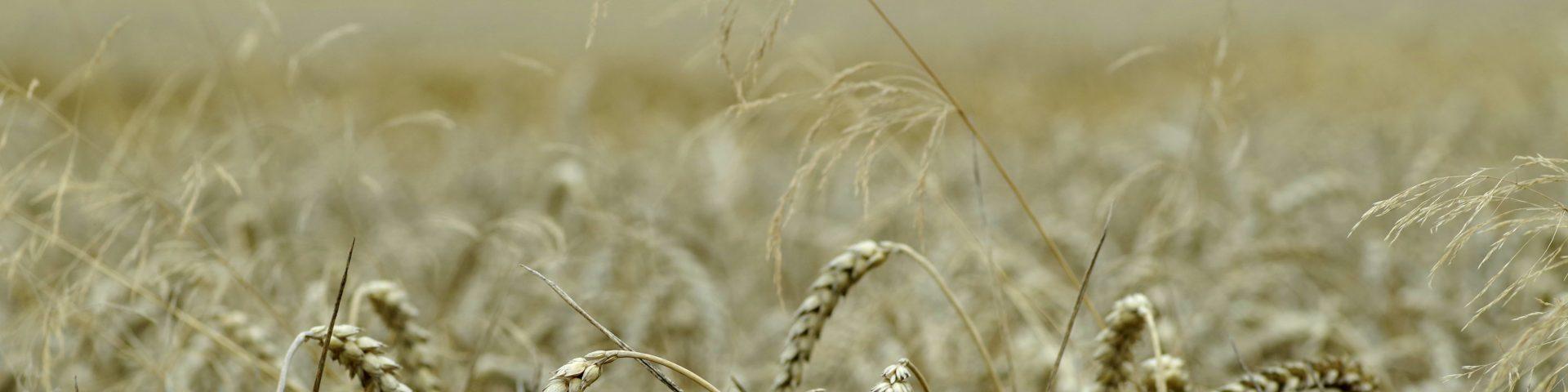 corn 2659172 1920x480 - Dożynki - tradycje, wierzenia, historia