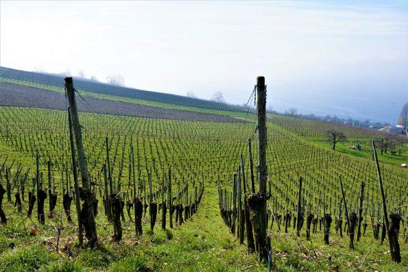 vineyard 3525802 595x397 - Dzień Zakochanych... w winie