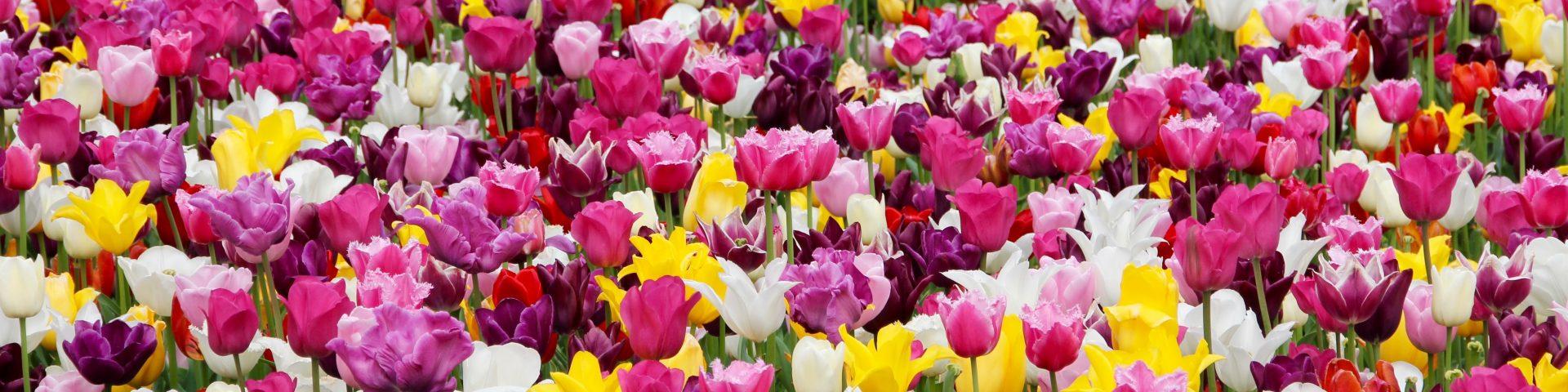 tulips 1405413 1920x480 - Dzień Kobiet - siła kobiet