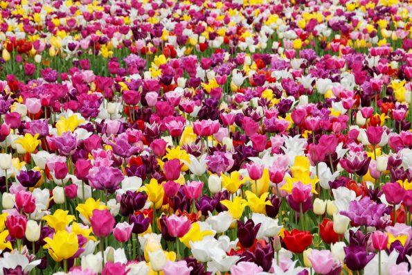 tulips 1405413 595x397 - tulips-1405413
