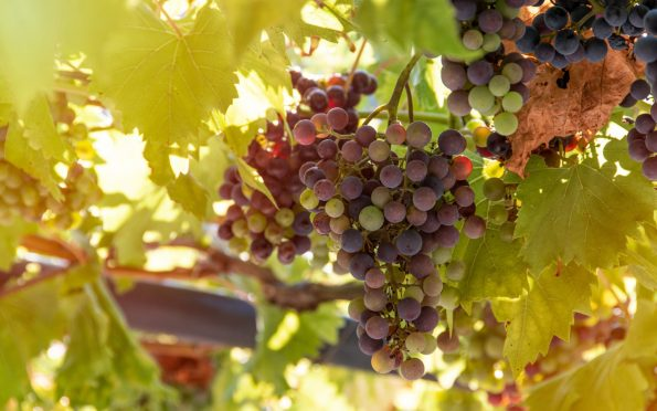 bunch of grapes 4610050 595x372 - [Wiedza o winie] Co to jest wino?