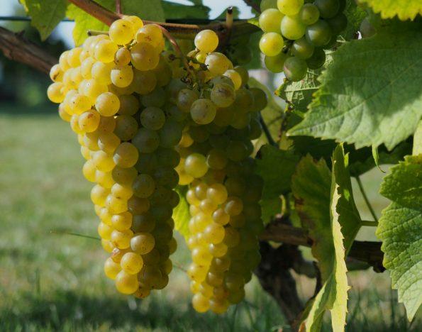 vines 3602019 595x468 - vines-3602019