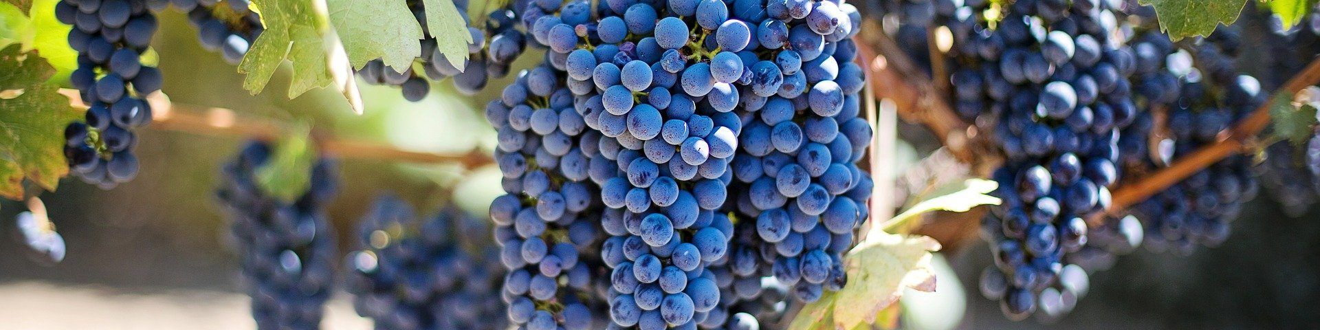 grapes 553464 1920 1920x480 - [Degustacja] Hot or Not